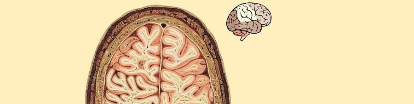 cerveau, neurosciences,