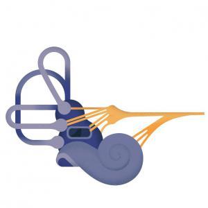 Le système vestibulaire